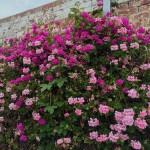 climbing geraniums