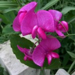 ornamental pea