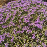 wild thyme in full bloom