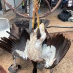 gurrumatji - magpie goose
